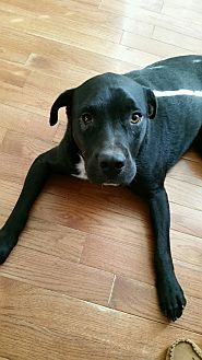 Pit Bull Terrier Mix Dog for adoption in Clarksville, Tennessee - Ross