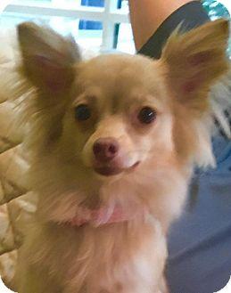 Chihuahua/Pomeranian Mix Dog for adoption in Atlanta, Georgia - Sofie