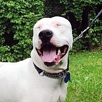 Adopt A Pet :: Buddy - Ridgefield, CT