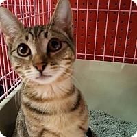 Adopt A Pet :: Kitten - Athena - Napa, CA