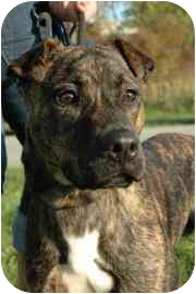 American Pit Bull Terrier/Shar Pei Mix Dog for adoption in Walker, Michigan - Iggy