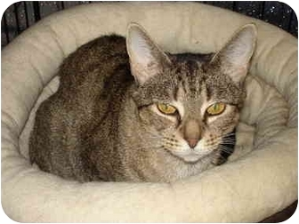 Domestic Shorthair Cat for adoption in Chesapeake, Virginia - Wendy