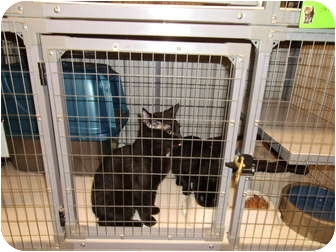 Domestic Shorthair Cat for adoption in Tipton, Iowa - Cole