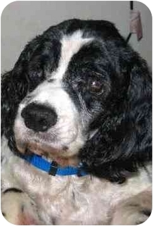 Cocker Spaniel Mix Dog for adoption in Sugarland, Texas - Benny