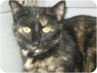Domestic Shorthair Cat for adoption in Munster, Indiana - Paige