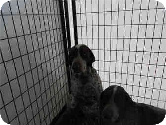 German Shorthaired Pointer Mix Dog for adoption in Yuba City, California - Goose