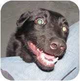 Labrador Retriever Mix Dog for adoption in Grinnell, Iowa - Lacey
