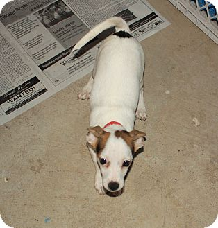 Chihuahua Mix Puppy for adoption in Homer, New York - Spazzi