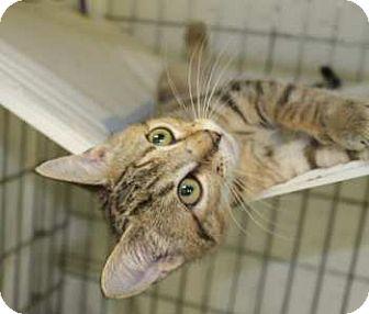 Domestic Shorthair Kitten for adoption in Lunenburg, Massachusetts - Poppette #4