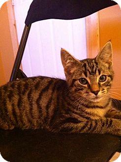 Domestic Shorthair Kitten for adoption in Pincher Creek, Alberta - Adam
