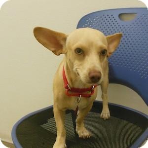 Corgi Mix Dog for adoption in Phoenix, Arizona - Ferris