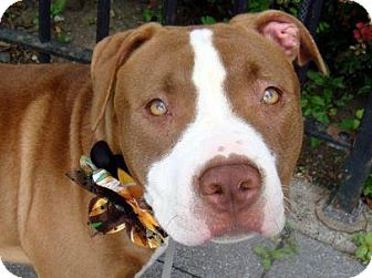 American Pit Bull Terrier Mix Dog for adoption in New York, New York - Nina