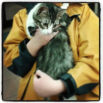 Domestic Shorthair Cat for adoption in Woodstock, Ontario - MOUSE