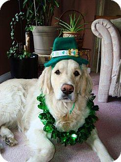 Golden Retriever Dog for adoption in Treton, Ontario - Sundim