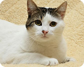 Domestic Shorthair Cat for adoption in Bellingham, Washington - Simba
