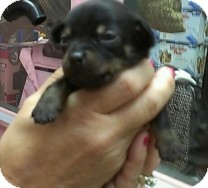Chihuahua/Dachshund Mix Puppy for adoption in St. Petersburg, Florida - Male Chiweenie Puppy
