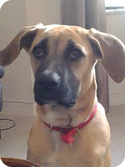 Black Mouth Cur/Shepherd (Unknown Type) Mix Puppy for adoption in Homestead, Florida - Isis - Diana