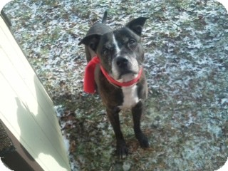 American Staffordshire Terrier Dog for adoption in Long Beach, New York - Linx
