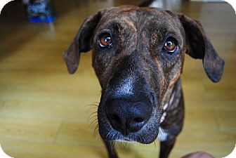 Boxer/Hound (Unknown Type) Mix Dog for adoption in Hearne, Texas - Tess