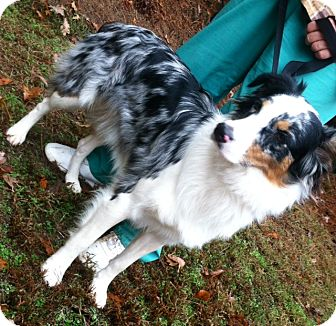 Australian Shepherd Mix Dog for adoption in Warwick, Rhode Island - Kaida