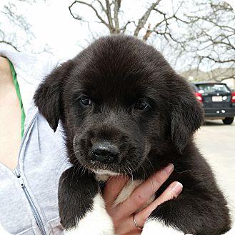 Border Collie Mix Puppy for adoption in DFW, Texas - Austin
