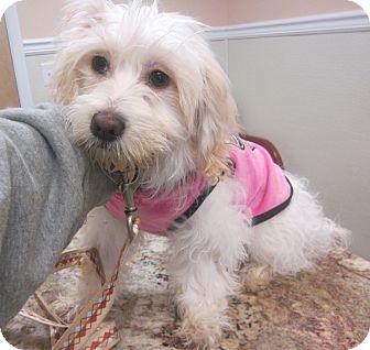 Cockapoo Mix Puppy for adoption in Oak Ridge, New Jersey - Juliet