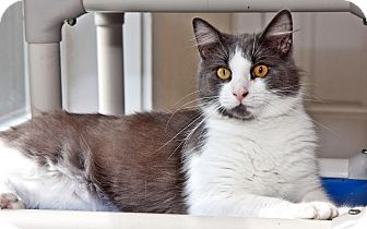 Domestic Mediumhair Cat for adoption in Cashiers, North Carolina - Lucky