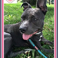 Pit Bull Terrier Mix Puppy for adoption in New Richmond,, Wisconsin - Rhea