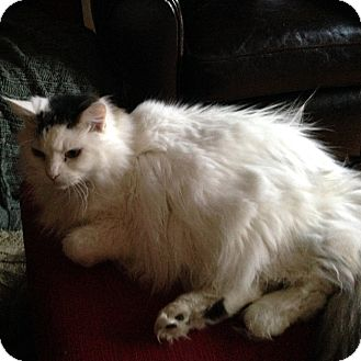 Ragdoll Cat for adoption in Minneapolis, Minnesota - Dana