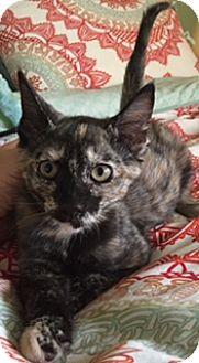 Domestic Shorthair Kitten for adoption in Houston, Texas - Sierra