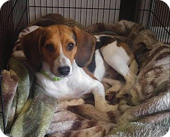 Beagle Mix Dog for adoption in East Hartford, Connecticut - Meeko  in CT