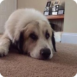 Great Pyrenees Mix Dog for adoption in Marlton, New Jersey - Chico