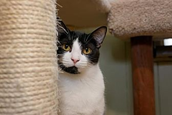 Domestic Shorthair Cat for adoption in Stone Mountain, Georgia - Silver