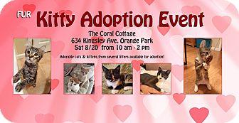 Domestic Longhair Kitten for adoption in Jacksonville, Florida - Teddy