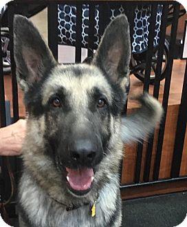 German Shepherd Dog Mix Dog for adoption in Walnut Creek, California - Kane