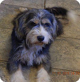 Tibetan Terrier/Bearded Collie Mix Dog for adoption in West Sand Lake, New York - Bernadette(22 lb) Perfect Girl