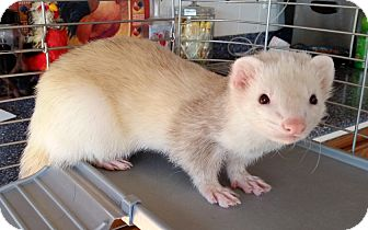 Ferret for adoption in Brandy Station, Virginia - FROSTY & JACK
