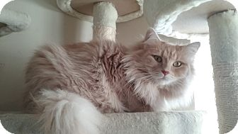 Domestic Longhair Cat for adoption in Cedar Springs, Michigan - Sugar
