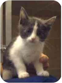 Domestic Shorthair Kitten for adoption in Saanichton, British Columbia - Bonnie