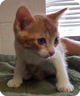Domestic Mediumhair Kitten for adoption in Bisbee, Arizona - Chad