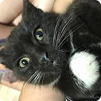 Adopt A Pet :: Brio - Toronto, ON