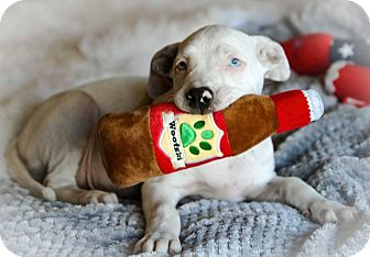 Catahoula Leopard Dog Mix Puppy for adoption in Killeen, Texas - Bud