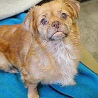 Adopt A Pet :: 'CHILI' - Agoura Hills, CA