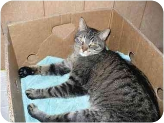 Domestic Shorthair Cat for adoption in Bay City, Michigan - Sherlock~~ADOPTED