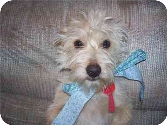 Terrier (Unknown Type, Small) Mix Dog for adoption in Sacramento, California - Dusty
