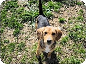 Beagle Mix Puppy for adoption in Mahwah, New Jersey - Hunt