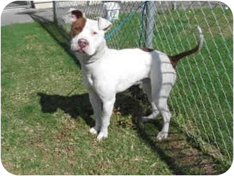 American Staffordshire Terrier/Pit Bull Terrier Mix Dog for adoption in Los Angeles, California - Marley