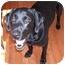 Photo 2 - Labrador Retriever Dog for adoption in Cumming, Georgia - Mack