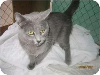 Domestic Shorthair Kitten for adoption in Libby, Montana - Smokey II