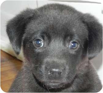 Labrador Retriever Mix Puppy for adoption in Salem, New Hampshire - Prince Harry